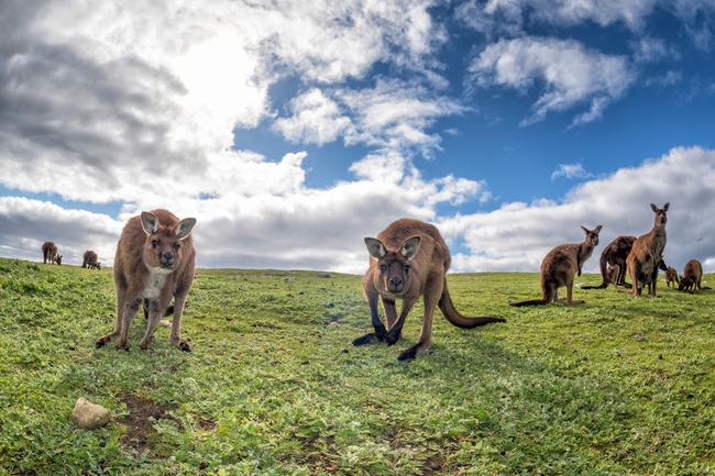 KangarooIsland-ST