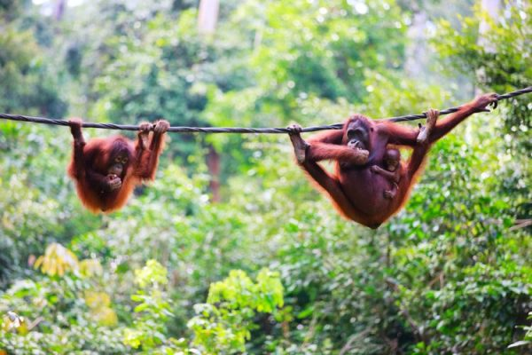 OrangutansBorneo ST e1580118638483