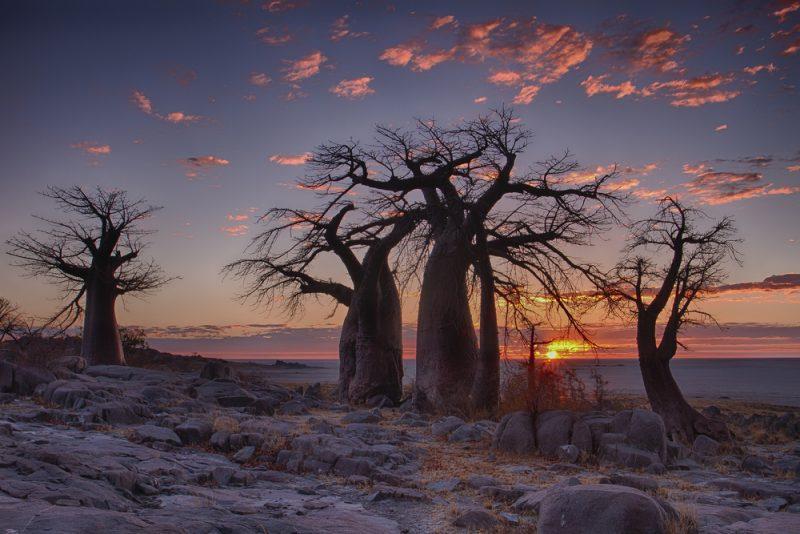 Botswana baobab