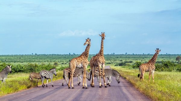 NEW 750px ST Kruger Park South Africa ph PACO COMO