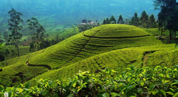 ST tea plants in Sri lanka ph maheshg