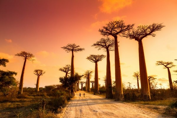 NEW 750px ST Madagascar baobabs