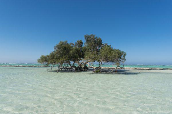 ST Mangrove tree at Al Qulaan Wadi El Gemal protectorate Marsa Alam Red Sea Egypt